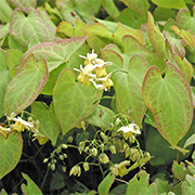 Epimedium makes a beautiful ground cover for dry shade.