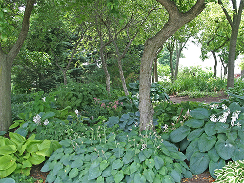 Hosta can make a beautiful ground cover for the shade garden..