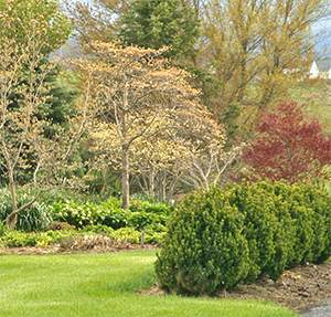 This boxwood hedge was cut back severely in March 2007.