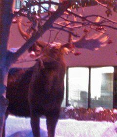 Moose eating mountainash