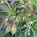 Japanese beetles can be destructive in the garden.