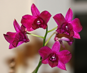 Beautiful magenta orchid