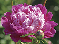 Peony Gay Paree is one of Andre's favorites!