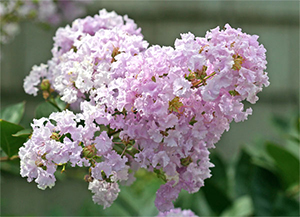Beautiful  crape myrtle blooms brighten the late summer garden.