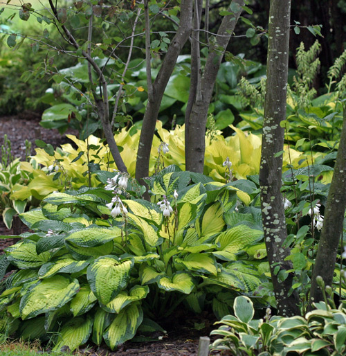 Beautiful hosta garden