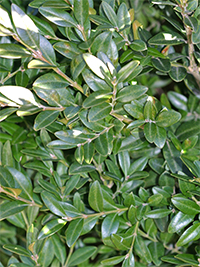 Boxwood have beautiful evergreen foliage.