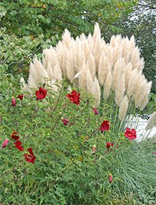 Hardy pampas grass makes a stunning backdrop for Hibiscus 'Lord Baltimore'.