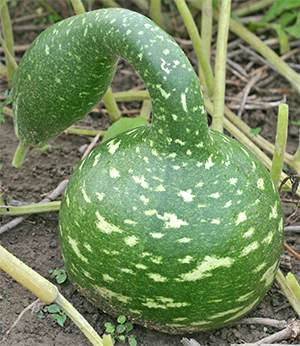 Speckled Swan is one of Mark's favorite gourds