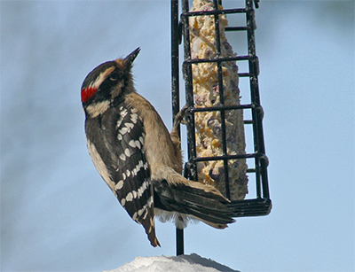 Downy woodpecker at the suet feeder