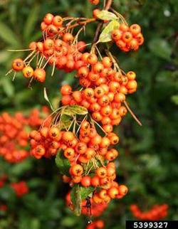 Pyracantha berries. Robert Vidéki, Doronicum Kft., Bugwood.org