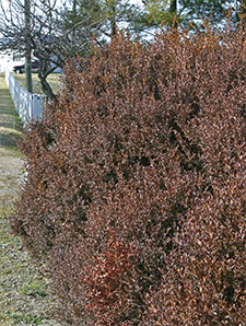 The windward side of this Korean boxwood has become bronzed from wind and sun exposure.