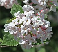 Viburnum flowers are often sweetly fragrant.