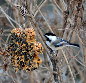 Chickadee and homemade bird treat