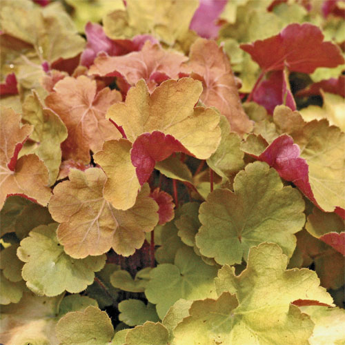 Heuchera 'Caramel' adds unique color from foliage to the garden.