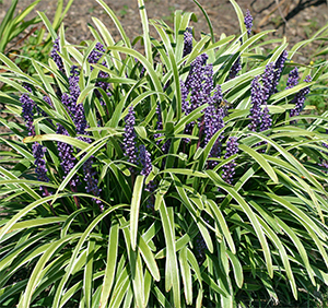 Liriope 'John Burch' is a beautiful ground cover for shade or sun.
