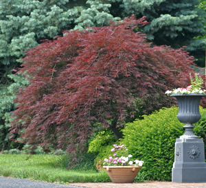 Japanese maple in June