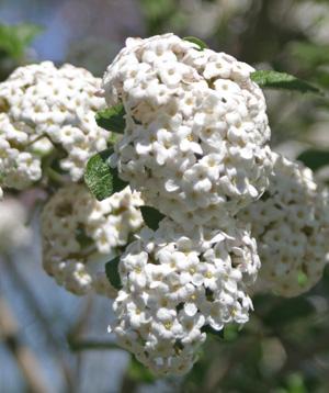 Fragrant Viburnum x carlcephalum