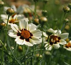 Coreopsis 'Snowberry'