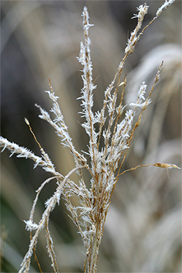 Frost on a Miscanthus plume