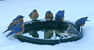 Bluebirds enjoy fresh water in the middle of winter.