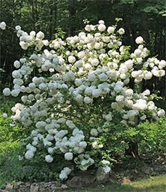Viburnum marcocephalum in the garden