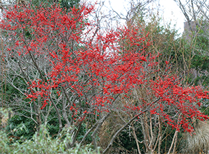 Ilex 'Sparkleberry' brightens the winter garden at Viette's.