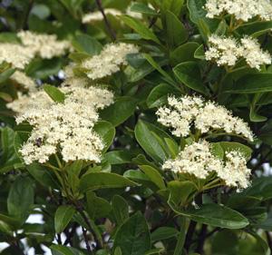 Viburnum cassiniodes