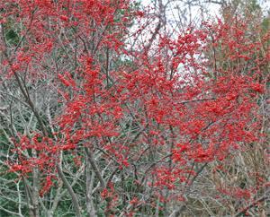 Winterberry in winter.