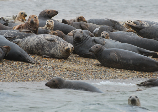 Gray seals on Jeremy Point
