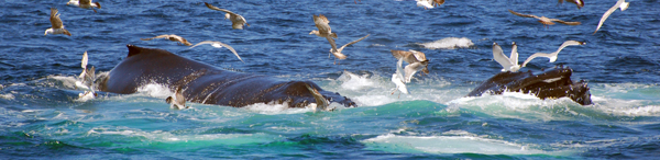 humpbacks feeding with birds