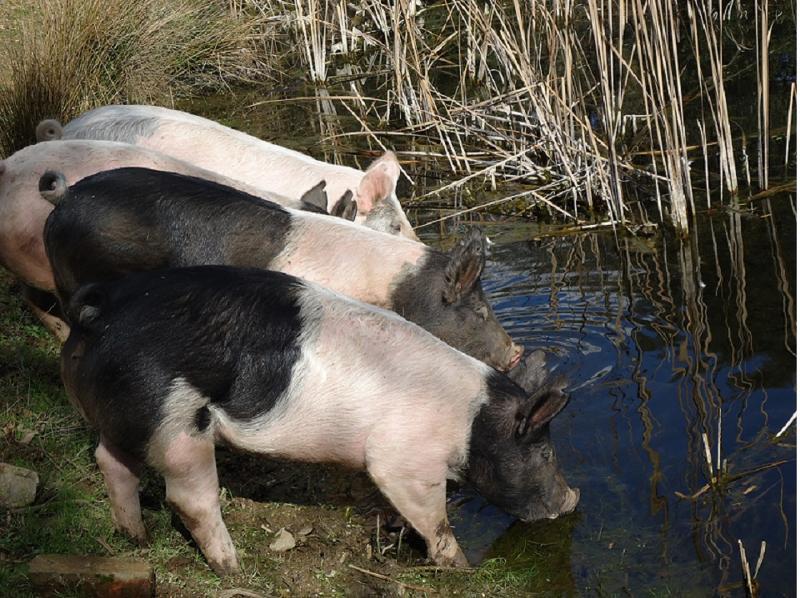 Hampshire pigs