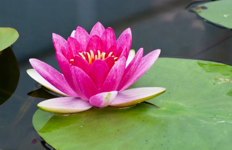 beautiful pink  lotus in the pond .