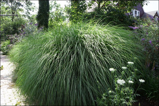 Ornamental grasses are the perfect low maintenance plant for Low maintenance grass plants