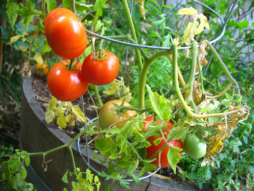 Burbank Slicer tomatoe