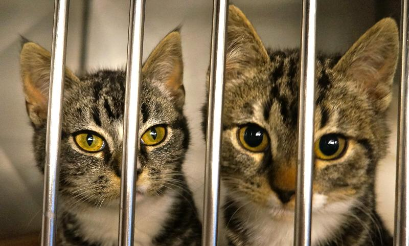 2 tabby kitties in kennel