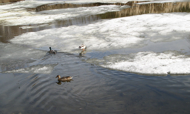 Thawing pond ducks