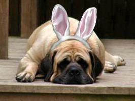 mastiff bunny