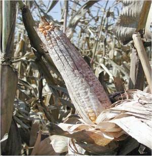 corn aflatoxin