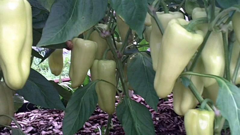 gypsy plants