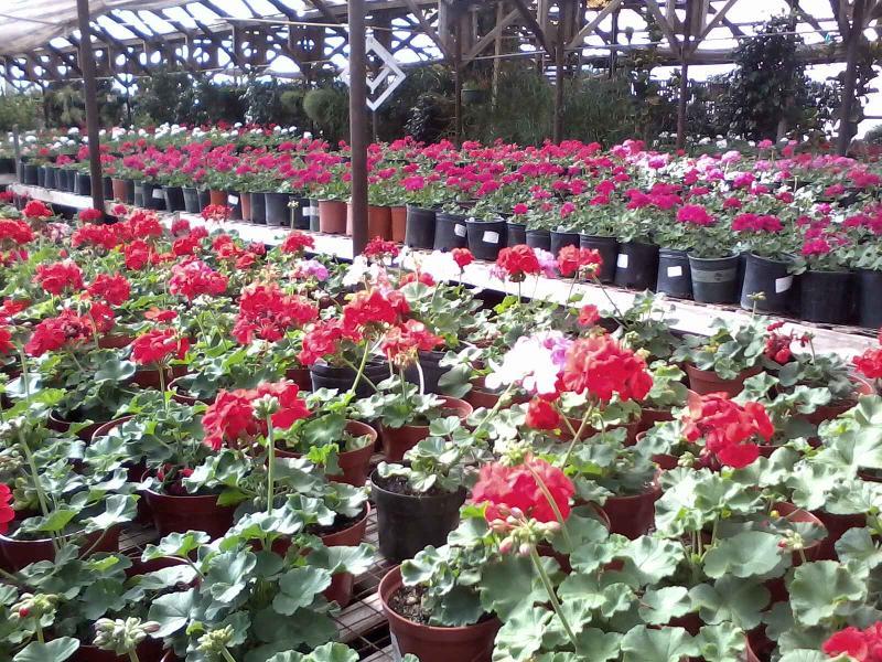 greenhouse/geraniums