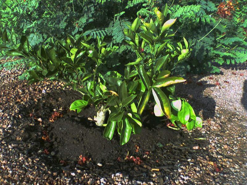 mulch under citrus
