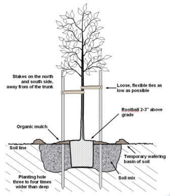tree staking diagram