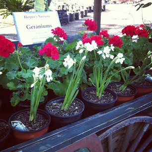 geraniums and paperwhites