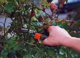 rose pruner