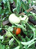 first ripe tomatoe