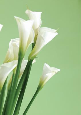 white-callalilies.jpg