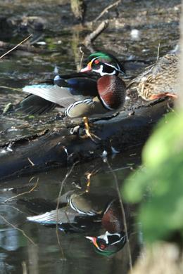Wood duck. Photo by Gary Halsiki.