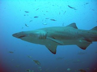 North Carolina shark