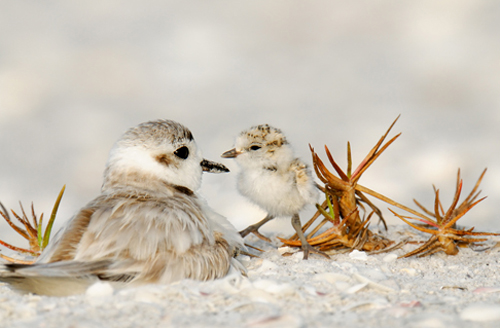 plover with chick