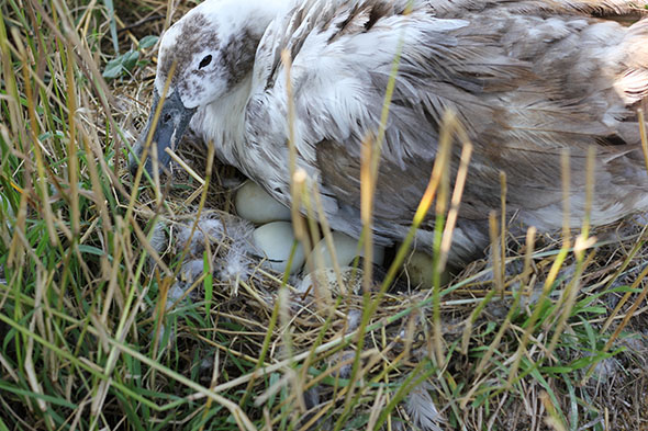 Exciting things are happening on the Antioch Farm this summer. This is a photo of a Swedish blue duck brooding her eggs. The photo was taken by Marianthe Bickett '15 last week.